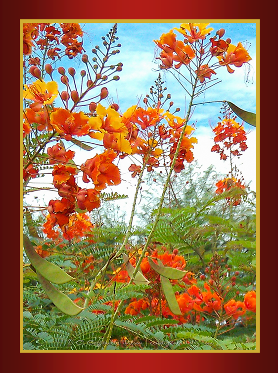 SD01 Mexican Bird of Paradise.png